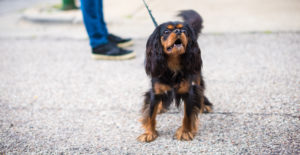 Cavalier-king-charles-spaniel-exercise