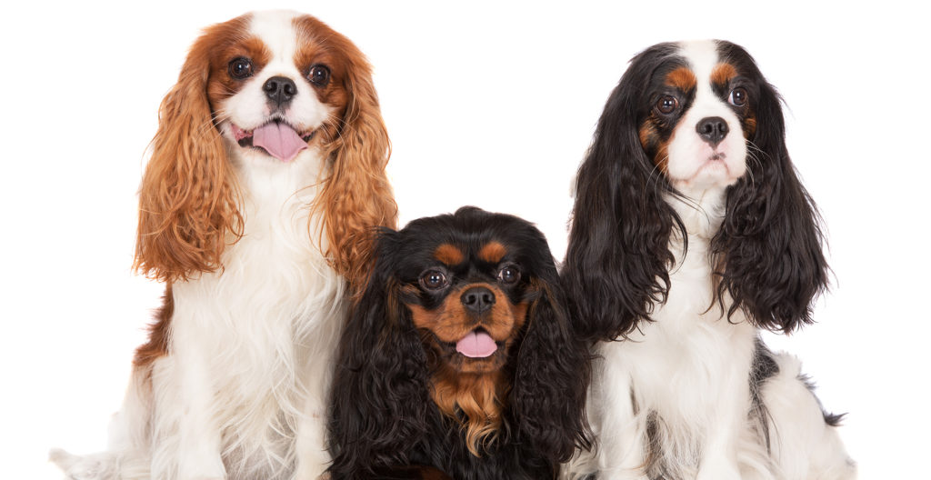 Cavalier-king-charles-spaniel-group-photo