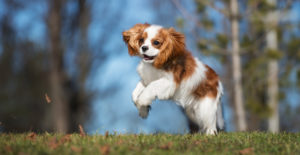 Cavalier-king-charles-spaniel-happy