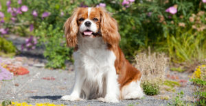 Cavalier-king-charles-spaniel-out-in-the-garden