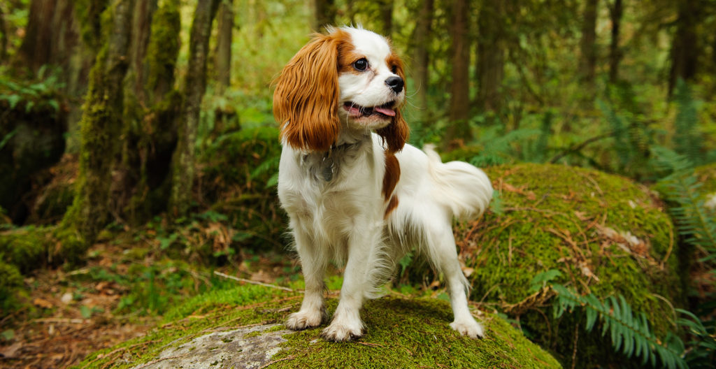 Cavalier-king-charles-spaniel-portrait-in-the-woods