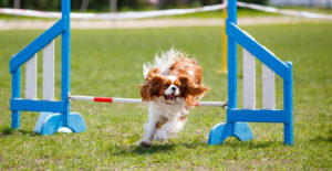 Cavalier-king-charles-spaniel-training