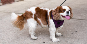 Cavalier-king-charles-spaniel-whole-body