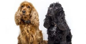 Cocker-Spaniel-black-and-brown