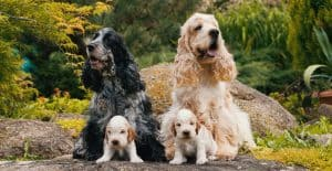 Cocker-Spaniel-family