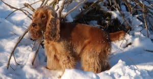 Cocker-Spaniel-in-the-snow