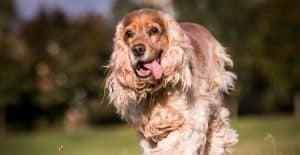 Cocker-Spaniel-running