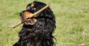 Cocker-Spaniel-with-a-stick