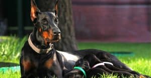 DOBERMAN-FEEDING-PUPPIES
