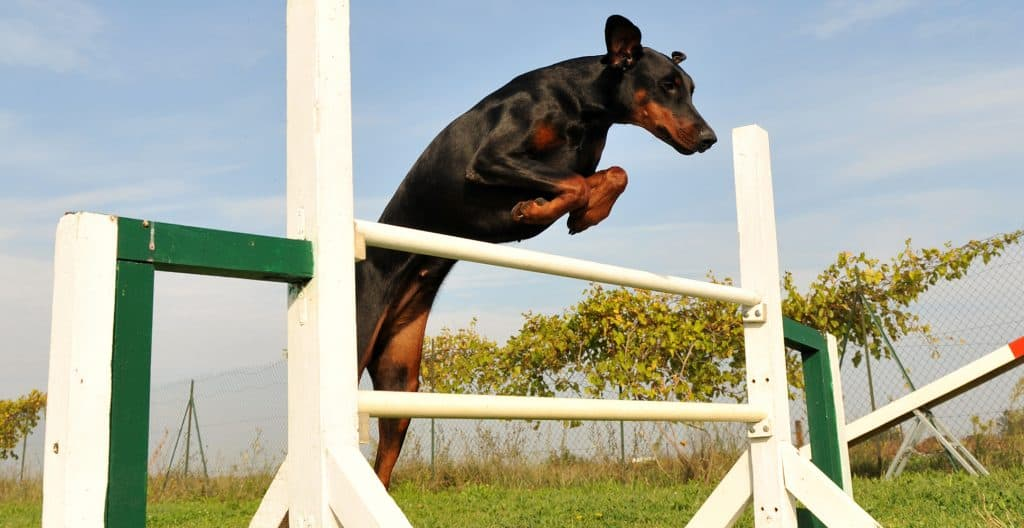 DOBERMAN-TRAINING