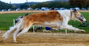 GREYHOUND-JUMPING