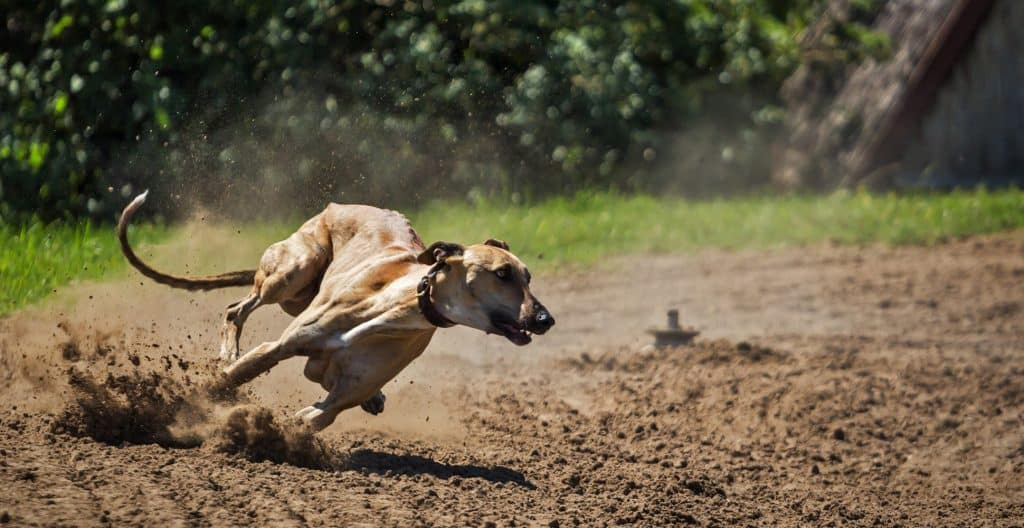GREYHOUND-RUNNING