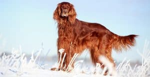 IRISH-SETTER-IN-SNOW-FIELD