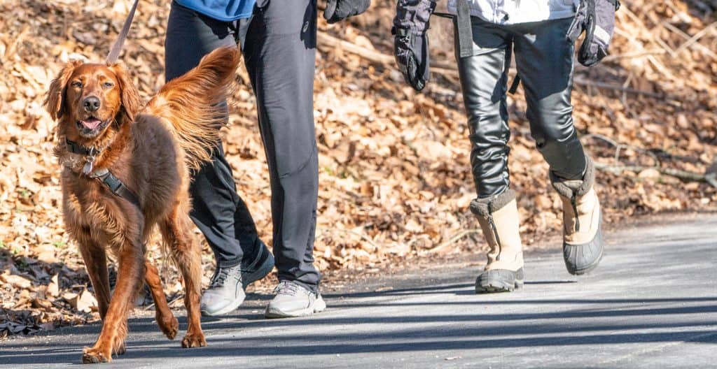 IRISH-SETTER-OUT-FOR-A-WALK
