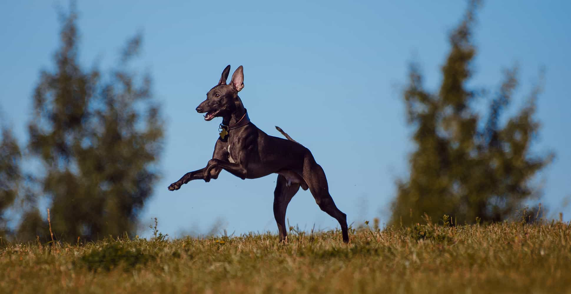 Italian Greyhound Breed Information - The Ultimate Guide ...