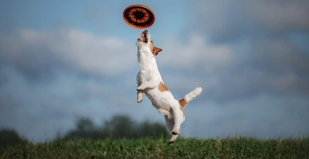 JACK-RUSSELL-CATCHES-DISC
