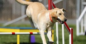 LABRADOR-RETRIEVER-AGILITY-TRAINING