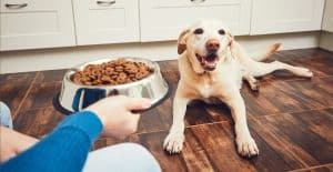LABRADOR-RETRIEVER-FEEDING