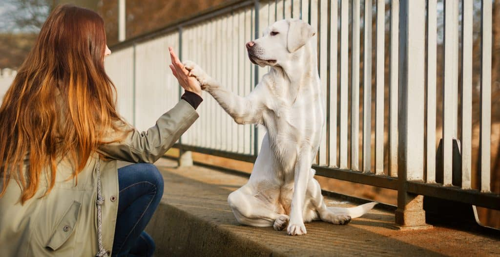 LABRADOR-RETRIEVER-HIGH-FIVE
