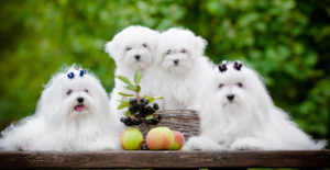 MALTESE-FAMILY-PORTRAIT