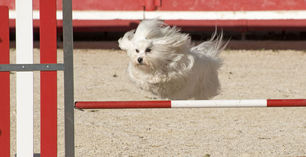 MALTESE-TRAINING