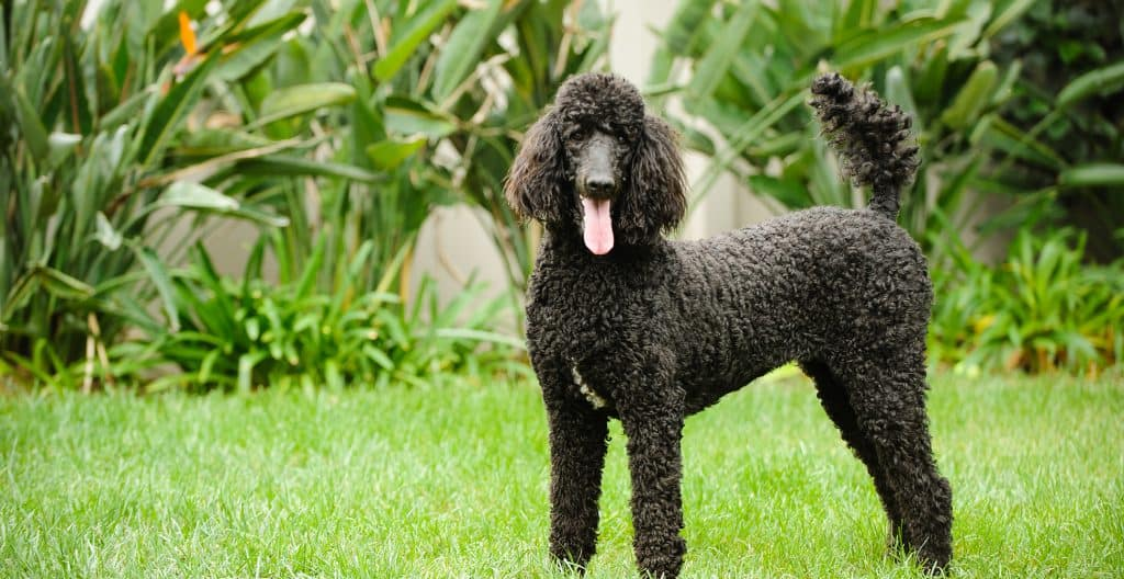 POODLE-FULL-SIZE