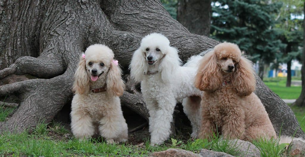POODLE-IN-DIFFERENT-COLORS