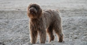 PORTUGUESE-WATER-DOG-AT-THE-BEACH