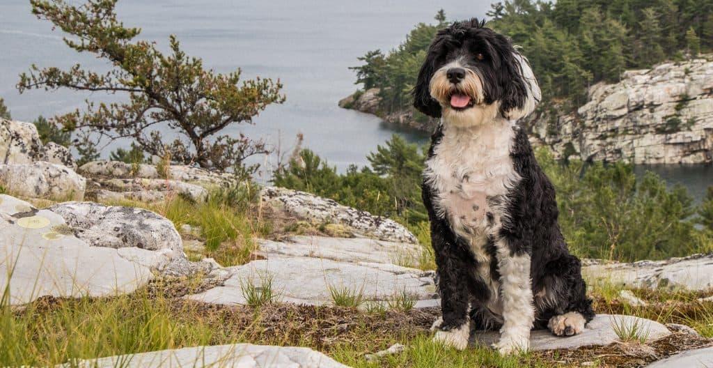 PORTUGUESE-WATER-DOG-BLACKANDWHITE-COAT