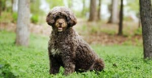 PORTUGUESE-WATER-DOG-IN-THE-FOREST
