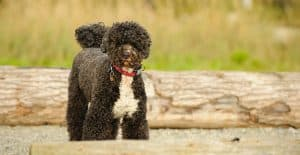 PORTUGUESE-WATER-DOG-STANDING-OUTDOOR