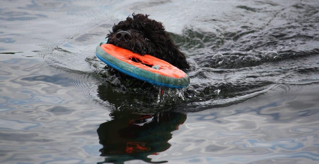 PORTUGUESE-WATER-DOG-TRAINING-SWIMMING