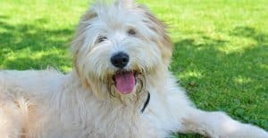 PYRENEAN-SHEPHERED-BREED-GUIDE