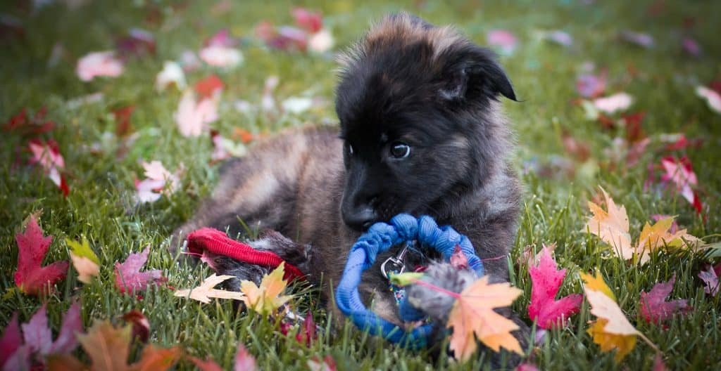 PYRENEAN-SHEPHEREDS-PUPPY