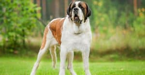 SAINT-BERNARD-BREED-GUIDE-HEADER
