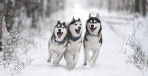SIBERIAN-HUSKY-GROUP-PICTURE-IN-THE-SNOW