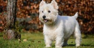 WEST-HIGHLAND-TERRIER-BREED-GUIDE-HEADER