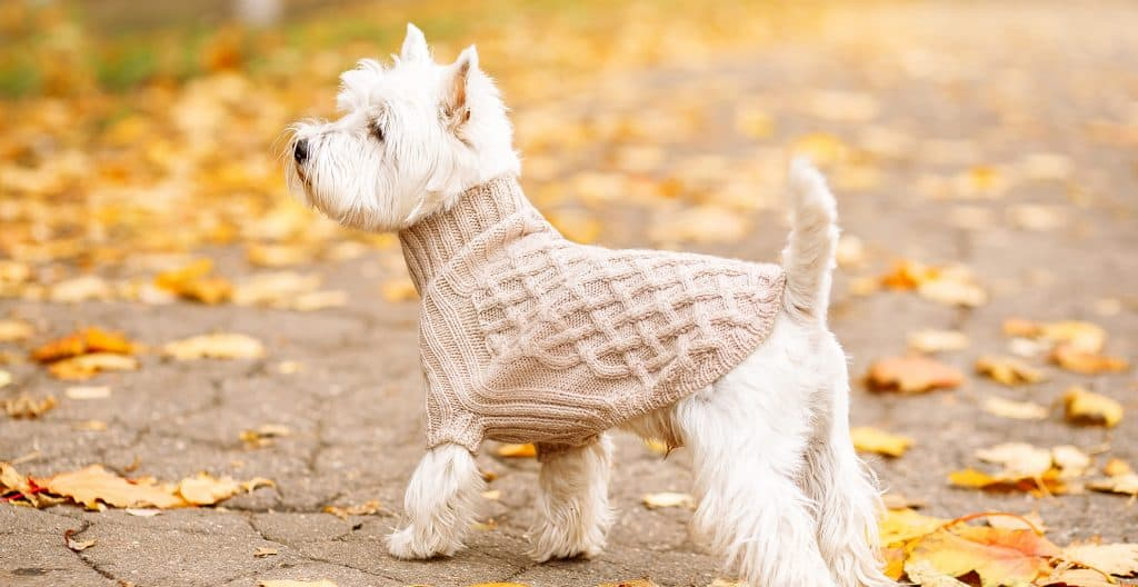 WEST-HIGHLAND-TERRIER-WITH-CLOTHES