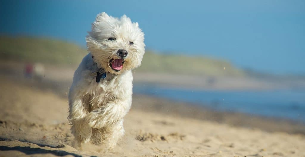 WEST-HIGHLAND-TERRIERS-EXERCISE