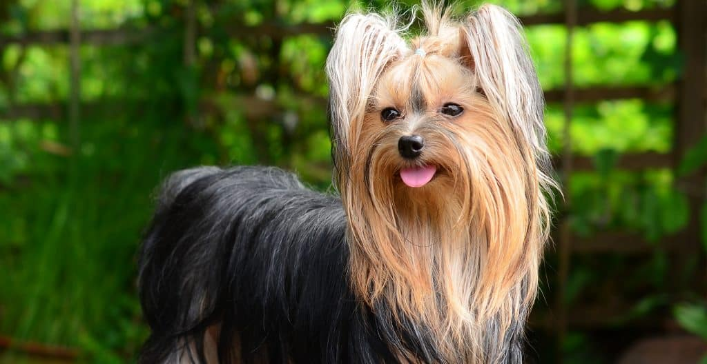YORKSHIRE-TERRIER-CAMERA-READY