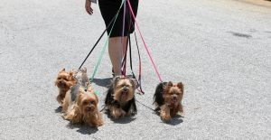 YORKSHIRE-TERRIER-EXERCISE