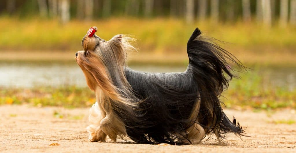 YORKSHIRE-TERRIER-LONG-HAIR