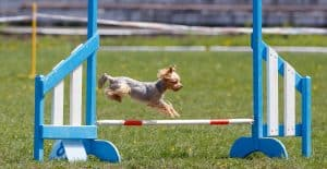 YORKSHIRE-TERRIER-TRAINING