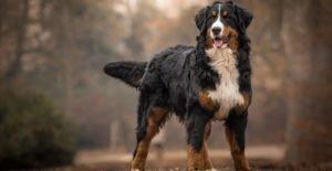 bernese-mountain-dog-adorable-portrait