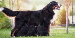 bernese-mountain-dog-feeding-puppies