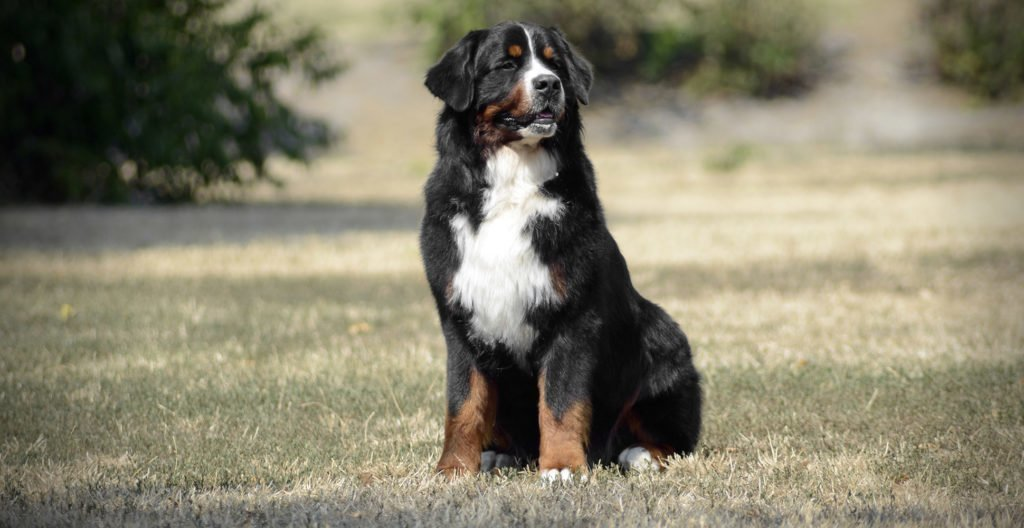 bernese-mountain-dog-sitting-outside
