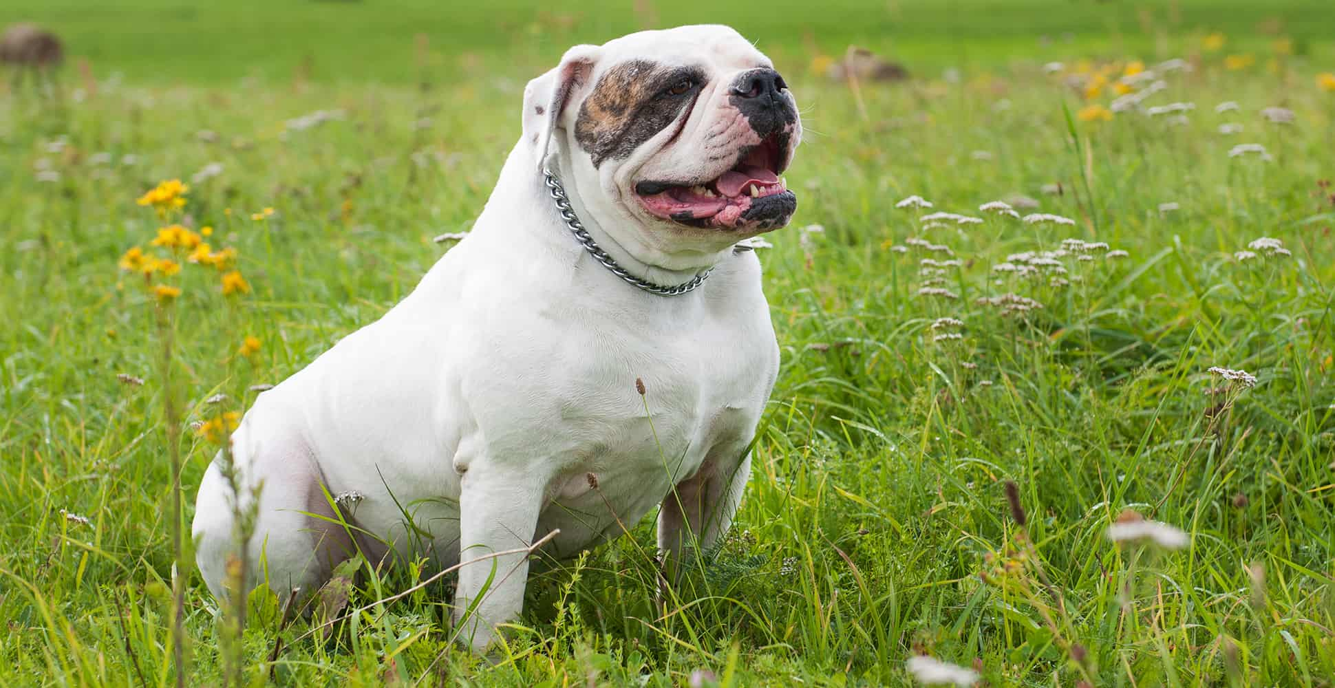 bulldog-american-white-well-built