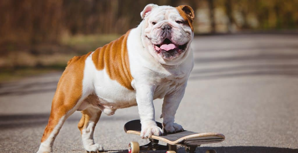bulldog-english-on-a-skateboard