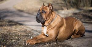 cane-corso-brown-italian