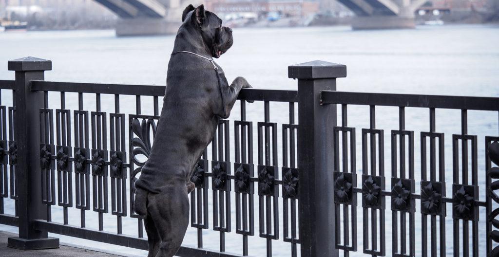 cane-corso-size